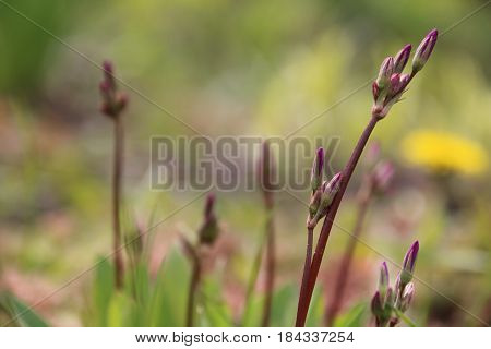 Pink Dodecatheon is commonly called shooting star in the spring garden
