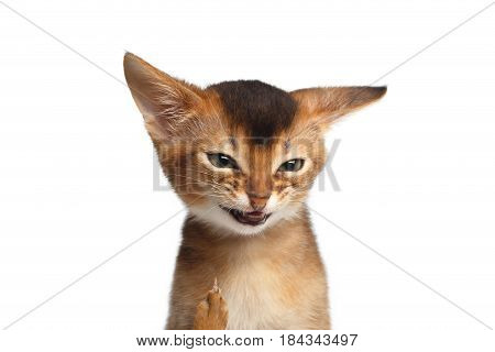 Portrait of Angry Kitten, Looks like hater, showing Middle finger on Isolated White Background
