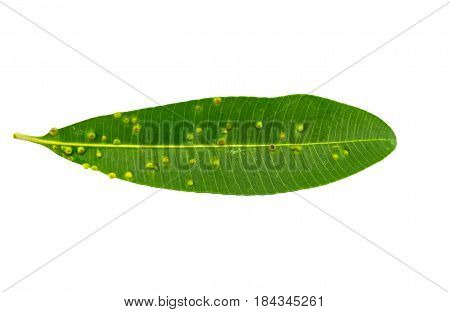 Close up green leaf of Blackboard Tree Devil Tree Alstonia scholaris (Linn.) R. Br.Saved with clipping path.