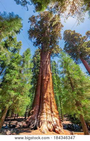 General Sherman tree in Sequoia National Park, California. Largest tree in the world.