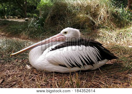 White pelican bird with long beak roosting on ground in zoo