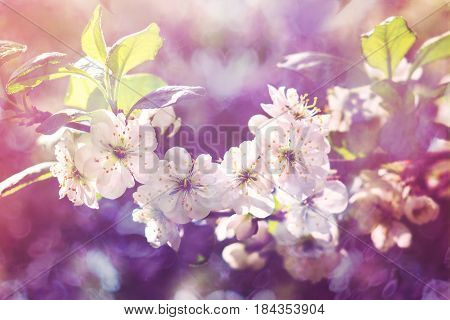 Blossoming  plum, flowering  plum. Close up. Spring solar background, photo wall paper. Soft focus, toning.