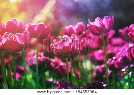Spring flowers background. Purple flowers tulips lit by sunlight. Soft selective focus. Bright colorful spring photo background