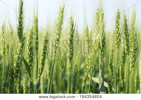 Green Wheat Close Up. Wheat Sprouts On Sunny Day. Green Background With Wheat.