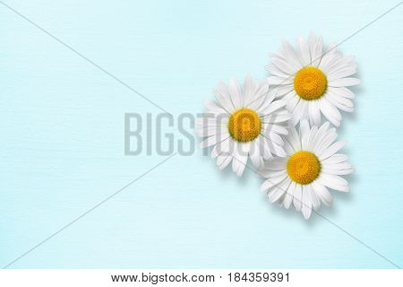 Three chamomile flowers on blue wooden background