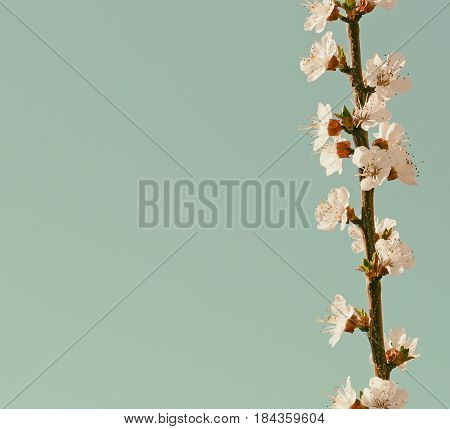 Branch of blossom apricot in retro style