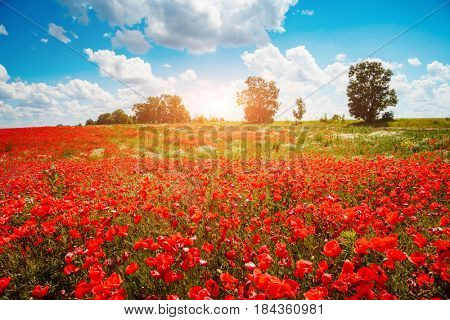 Blooming poppies on field with white fluffy clouds. Wild flowers in springtime. Nice day and gorgeous scene. Wonderful wallpaper. Location rural place of Ukraine, Europe. Explore the world's beauty.