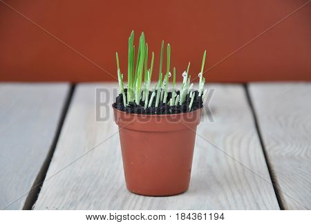A small sprouting grass in a brown pot on wooden table on terracotta background.