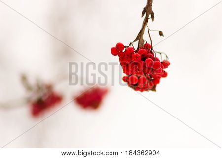 Winter Rowan (ashberry)