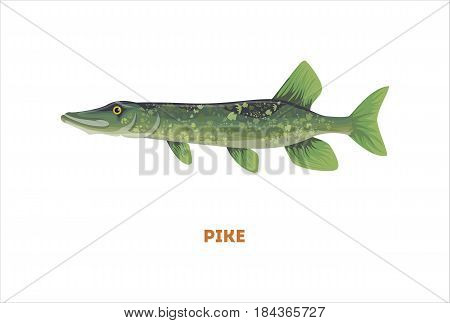 Isolated pike fish on white background. Fresh food.