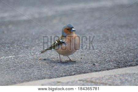 view In profile, small bird with blue feathers on his head, finch, standing on the asphalt in the park, close, close-up, looking at the camera,