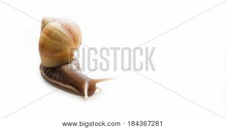 Giant African snail, Achatina, on a white background