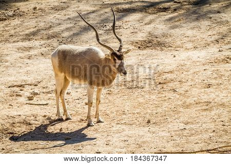 JERUSALEM, ISRAEL - JANUARY 23: The Addax, White antelope or screwhorn antelope in Biblical Zoo in Jerusalem, Israel on January 23, 2017
