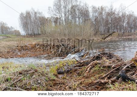 Beaver Dam. The Dam Constructed By A Beaver. House Of A Beaver.