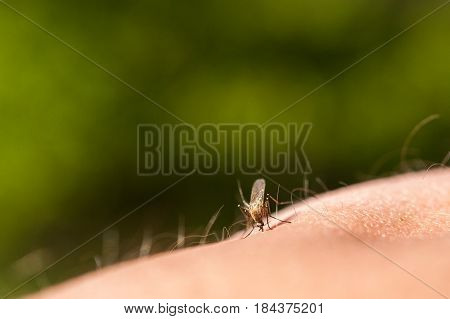 Photo of a close-up of a mosquito sitting on skin disease carrier of malaria insects