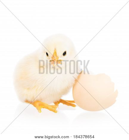 Cute newborn chicken with broken eggshell isolated over white background