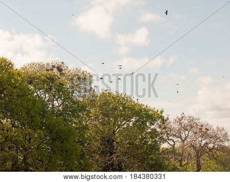 Crows Flying Above Trees Together A Murder