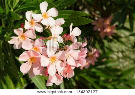 Pink Flowers Nerium oleander selective focus. As ornamental plants the oleander is widely used in landscape design. Nature Web banner Horizontal Image With Copy Space