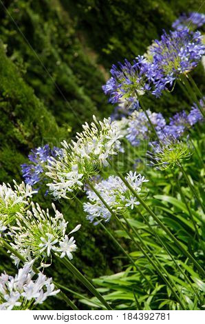 Nature Background with blossoming agapanthus african flowers. Flower garden Summer with selective focus. Colorful Natural Vertical Wallpaper