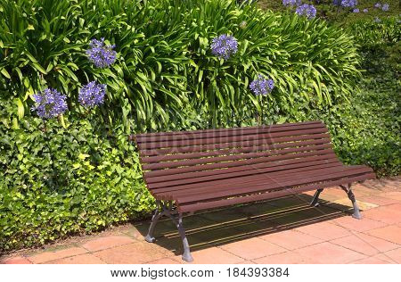 Empty wooden bench of the garden or the park outdoor. Hedge of agapanthus flowers.