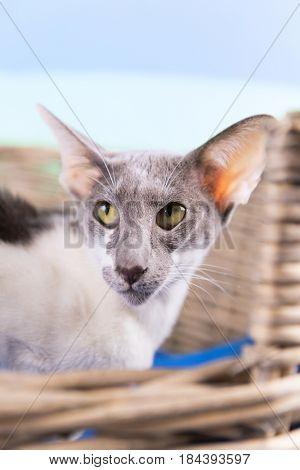 Modern grey and white pure breed Siamese cat