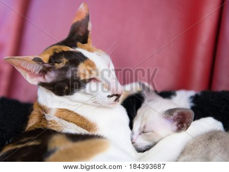 Modern turtle pure breed Siamese cat with young kitten