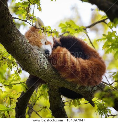 Red panda, also known as the lesser panda, firefox or cat-bear, sleeping in the branches of a tree. This creature is indigenous to the Himalayas and China.