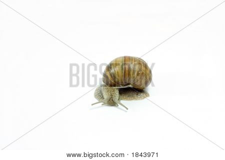 photo of burgundy snail isolated on white poster