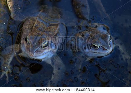Two males of moor frog in spawning blue color guarding their caviar in the shadow in swap