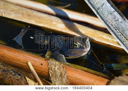 Male of moor frog in spawning blue color between algae in swap