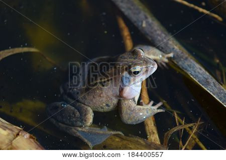 Male of moor frog in spawning blue color croaking between water plants in swap
