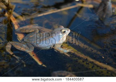Male of moor frog in spawning blue color guarding his caviar between water plants in swap