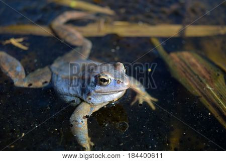 Male of moor frog in spawning blue color swimming between caviar and water plants in swap