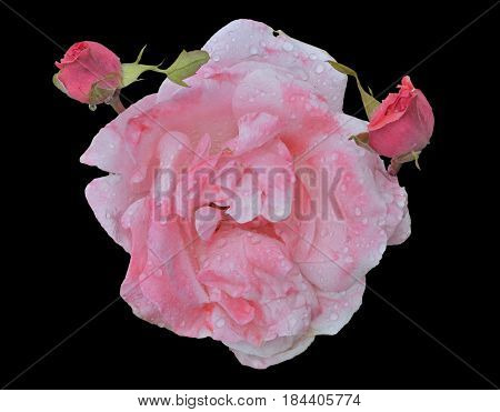 A close up of the flower whity-pink rose with raindrops on petals. Isolated on black.