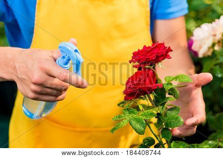 Hands Of A Gardener Sprayed With Water From A Spray Of Red Roses