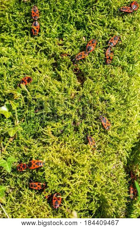 Firebugs on moss background, closeup view .