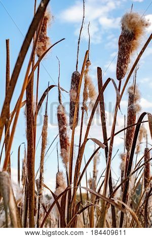 Fluffy dried cattail with sky, closeup view