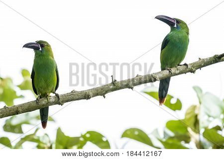 Two Toucanets Perched on the Tree in Mindo Cloud Forest Ecuador