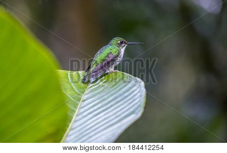 An Andean Emerald Hummingbird Perched on a Leave in the Mindo Cloud Forest Ecuador