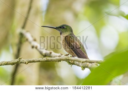 A Fawn-breasted Hummingbird Perched on a Tree in Mindo Cloud Forest Ecuador