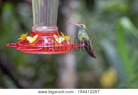 A Guilded Sapphire Hummingbird at the Feeder