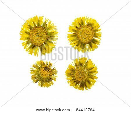 Pressed and dried flower coltsfoot (foalfoot tussilago farfara) isolated on white background. . For use in scrapbooking floristry (oshibana) or herbarium.