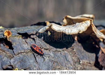 Pyrrhocoris apterus bug in forest, closeup view