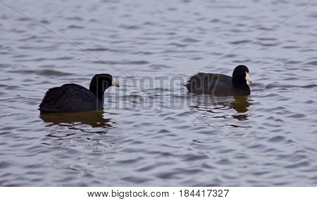Beautiful Background With Two Amazing American Coots In The Lake
