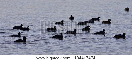 Beautiful Image With A Swarm Of American Coots In The Lake