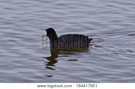 Beautiful Photo With Funny American Coot In The Lake