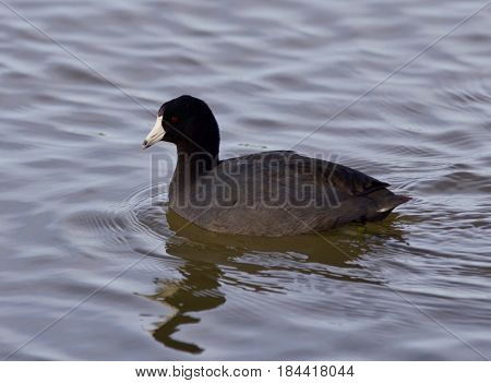 Beautiful Background With Amazing American Coot In The Lake