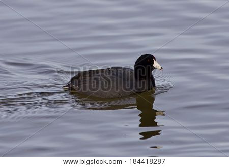 Beautiful Photo With Funny Weird American Coot In The Lake