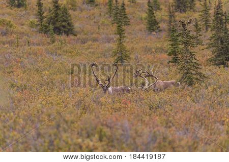 barren ground caribou bulls in velvet  in Denali National Park Alaska