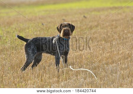 A German Wirehair hunting dog out in the field